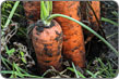 carrots in soil