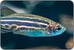 Zebrafish